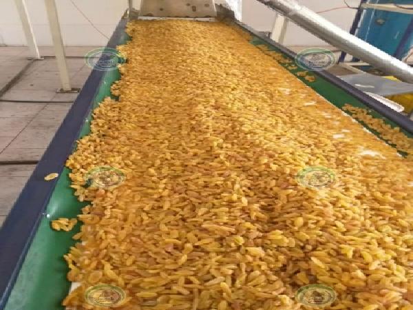 فروش کشمش زرد کارخانه